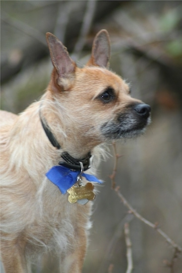 cairn chihuahua toxirn dog breed information and pictures 2460