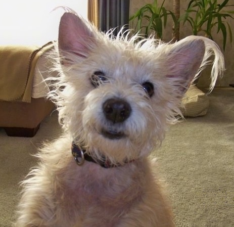 Close up - A scruffy looking, tan Toxirn dog sitting on a carpet looking forward. There is a bed and a potted plant behind it. The dog has small perk ears with fringe hair hanging from them, dark eyes, a black nose and black lips.