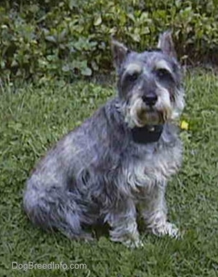 The right side of a gray with white Miniature Schnauzer is sitting on a grass surface and it is looking forward.