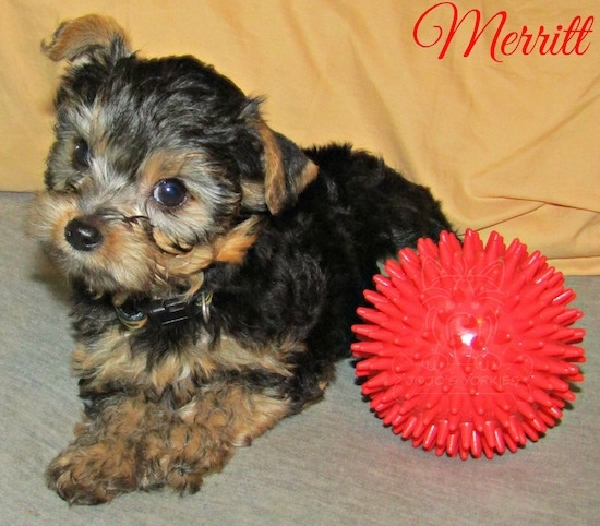 A little black and tan 8 week old puppy laying down next to a toy red ball with his head tilted to the right with the words Merritt overlayed on the top right corner