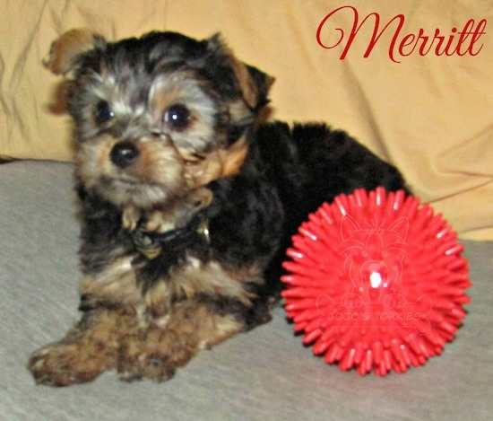 A little black and tan 8 week old puppy laying down next to a toy red ball looking forward with the words Merritt overlayed on the top right corner