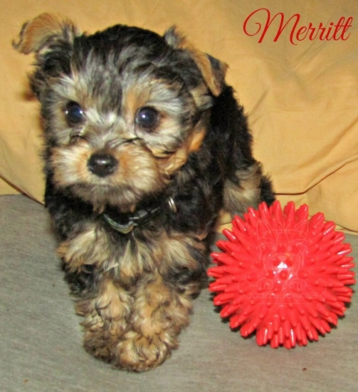 A little black and tan 8 week old puppy standing up next to a toy red ball looking forward with the words Merritt overlayed on the top right corner
