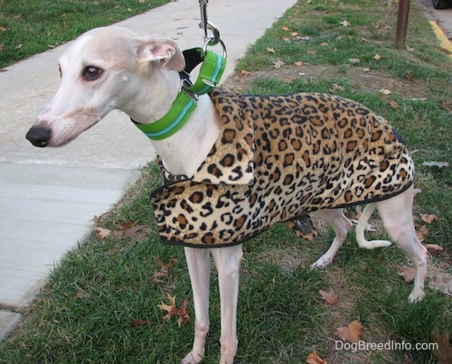 The front left side of a white Whippet standing outside and it is wearing a leopard print coat. The dog has a long body, long legs, a long tail and a long snout with a black nose and almond shaped brown eyes.