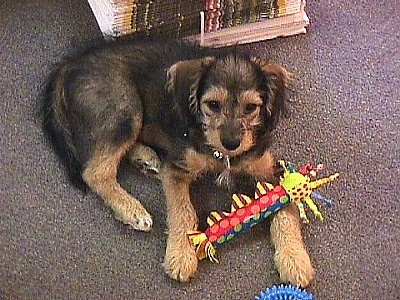 A black and tan Woodle puppy is laying across a carpeted floor in front of a stack of newspaper and there is a toy across its paws. It has ears that hang down to the sides, dark eyes and a dark nose.