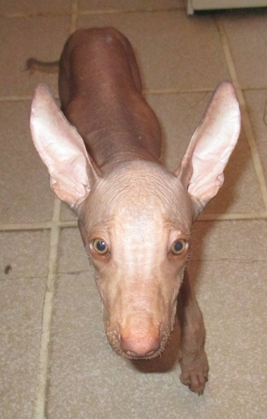 Front view - A tan hairless dog walking across a tiled floor. The dog has huge narrow perk ears, round tan eyes, a liver colored nose and wrinkles on its forehead.