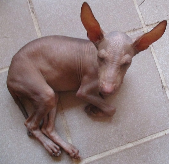 A completely hairless dog with huge perk ears laying on a tan tiled floor. It has wrinkles on its brown skin and a liver colored nose.