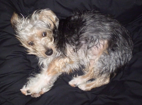 A little medium-haired black and tan dog laying on a black blanket. It has a black nose and dark eyes.