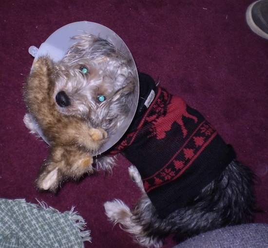 A black and tan Yorkie Russell, wearing a postop surgery cone and a black and red sweater, is standing on a maroon carpet with a stuffed plush rabbit in its mouth.