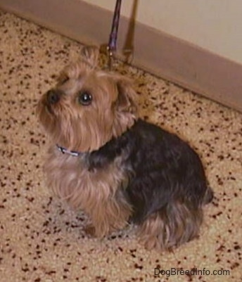 The left side of a black and brown Yorkie is sitting on a floor. It is looking up and to the left. The little dog's thick coat is trimmed around its face.