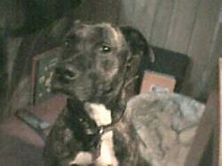 Close up - A black brindle with white American Pit Bull Terrier is sitting on a carpet, its head is turned to the left, but it is looking forward.