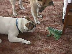 Spike the Bulldog is laying on a carpet play bowing in front of the frog. There is another dog standing next to Spike