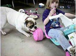 Spike the Bulldog is biting the back wheel of a big wheel that a little girl is sitting on