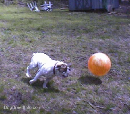 Spike the Bulldog is running after a big orange ball in a field
