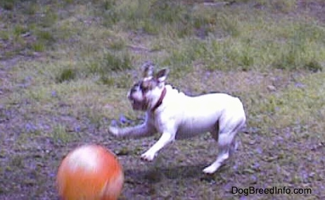 Spike the Bulldog is jumping at a big orange ball in a field