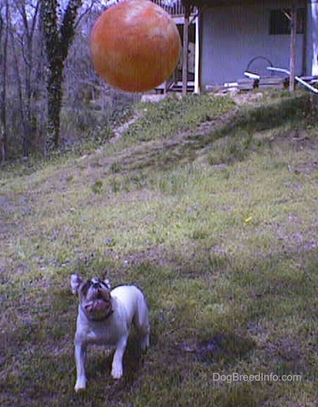 Spike the bulldog is lookiong up at a big orange ball. The Orange Ball is in the air