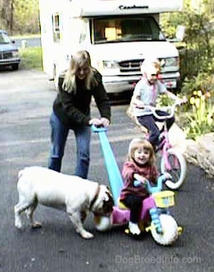 Spike the bulldog is biting the back wheel of a tricycle that a little girl is riding on and a lady is pushing