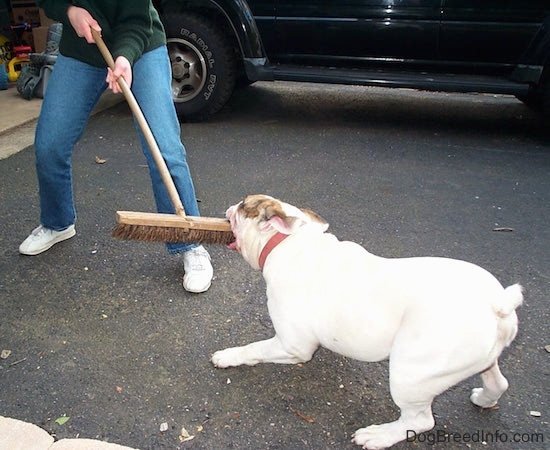 Spike the Bulldog is having a tug of war for a broom with the person holding it