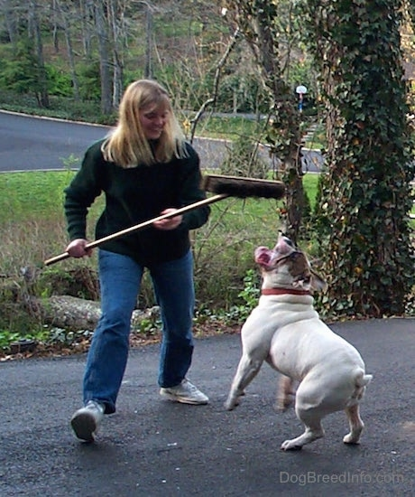 Spike the Bulldog is biting at the Brissely part of a broom
