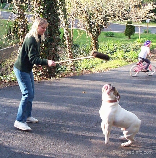 Spike the Bulldog is jumping after the Brissely part of a broom being held over his head