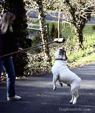 Spike the Bulldog is jumping and almost getting the brissely part of a push broom