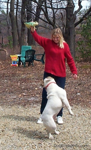 Spike the Bulldog beginning to jump after the frog. Which is being held in the air by a person in a red sweater