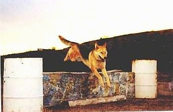 Kodak the dog is jumping over a wooden board that is being held up by two barrels