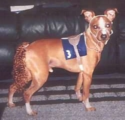 A dog is dressed as a race horse in front of a black leather couch