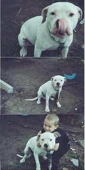 Three pictures of a sitting white American Bulldog and in the last photo the dog gets hugged by a boy.