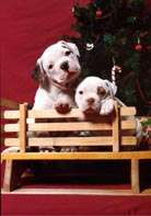 Two American Bulldog puppies are sittign behind a miniature wooden bench and behind them is a Christmas tree.