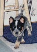 Storm the Australian Cattle puppy walking on a rug with a stool behind it