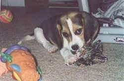 A white and black with tan Beagle puppy is laying on a tan carpet and chewing a rope toy. There is another toy next to it.