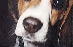 Close Up - Abbey the Beagle puppys face