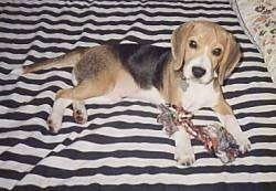 Earl the Beagle puppy laying on a bed with a rope toy