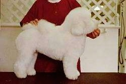 Left Profile - Lexi the Bichon Frise standing on a table with a person behind them. THe person is holding the Bichon Frise tail on its back and its head up.