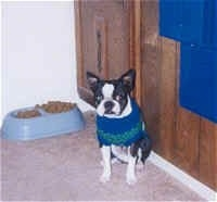 Champ the Boston Terrier sitting down against a kitchen cabinet with a full dog food dish behind him
