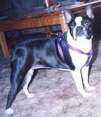 Cleo the Boston Terrier wearing a purple harness standing on a carpet looking at the camera holder