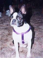 Cleo the Boston Terrier wearing a purple harness sitting on a carpet looking at the camera holder
