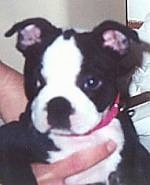 Close Up - Bunny the Boston Terrier puppy being held up in the arms of a person