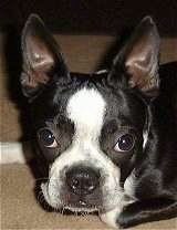 Close Up head shot - Rocky the Boston Terrier laying on a carpet