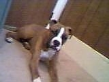 Hooch the Boxer laying on a carpet in front of a door