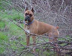 Gus the Boxer standing outside in front of a bunch of tree branches