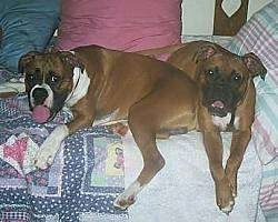 Two Boxers are laying on a human's bed that is covered with a quilt with pillows behind them.