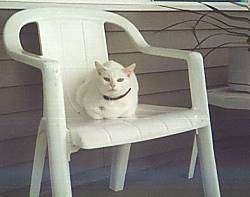 Sugar the white cat is laying on a white plastic lawn chair and looking towards the camera holder