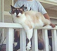 Skyla the Ragdoll Cat is laying on a railing with its limbs hanging over the edges. There is a person behind it.