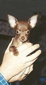 A Chihuahua Puppy is being held in the aire by a person