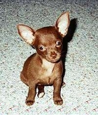 A brown Chihuahua puppy is sitting on a carpet and looking up at the owner