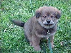Zeke the Chow Chow Puppy is sitting outside in a yard and looking at the camera holder with what looks like a frown on his face
