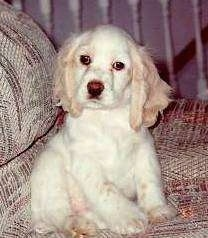 A white with tan American Cocker Spaniel Puppy is sitting on couch and it is looking forward. its head is slightly tilted to the right.
