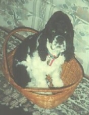 Topdown view of a black and white American Cocker Spaniel that is sitting in a basket on a rug next to the couch