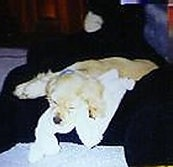 A tan and white American Cocker Spaniel Puppy is sleeping on a black couch with a blanket under its head
